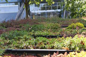 Das Wasser auf verschiedenen Pflanzen verdunstet unterschiedlich – und dementsprechend sind auch die Kühleffekte von grünen Dächern verschieden.